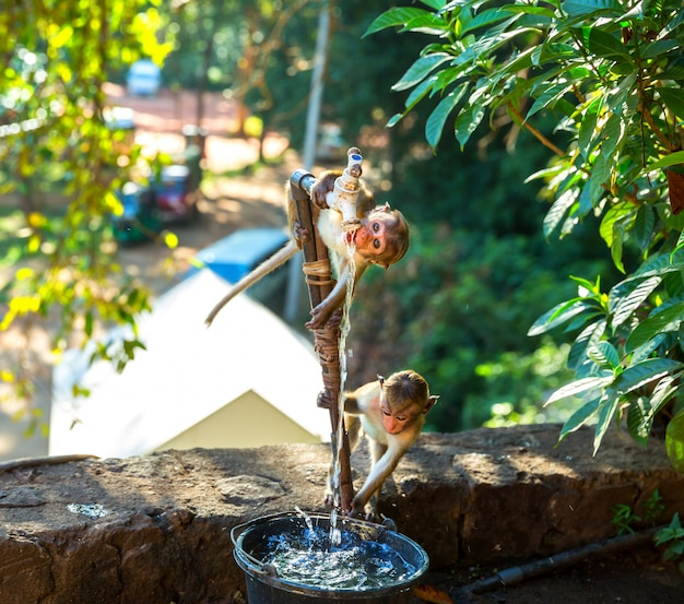 Les singes boivent de l'eau de la fontaine dans l'ancien temple de bouddha à ceylan. macaques dans la scène de la vie, en asie. voleurs de nourriture sur shri lanka