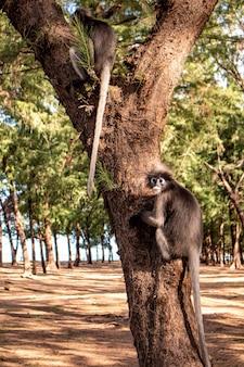 Les singes feuilles sombres sont une vue commune sur la plage de laem sala.