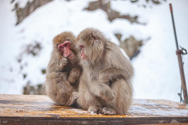 Singes à fourrure sur la neige