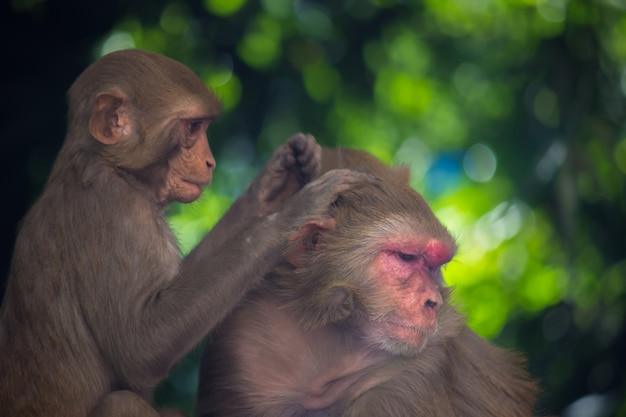 Les singes macaque rhésus