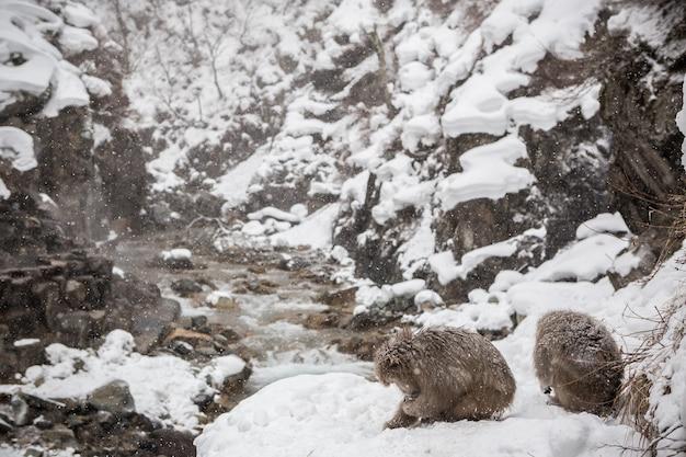 Singes des neiges japonais dans un onsen naturel à jigokudani, japon