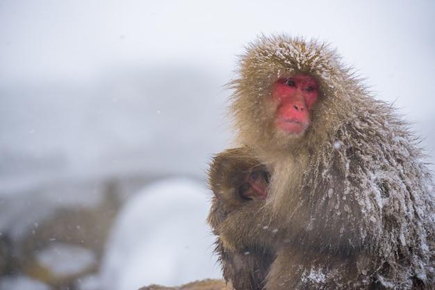Singes des neiges (macaques japonais) frissons et étreignent avec bébé singe et famille