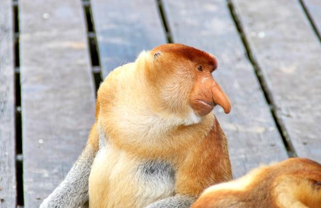 Singes proboscis endémiques de l'île de bornéo en malaisie