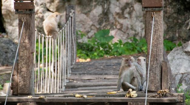 Singes sauvages mangeant des bananes assis sur un pont