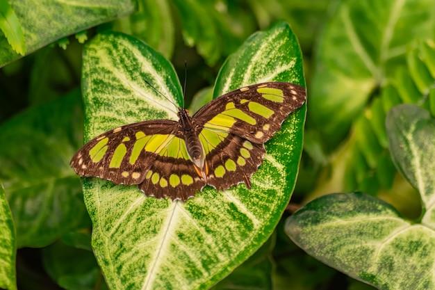 Siproeta stelenes (papillon malachite)