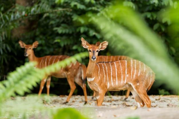 Sitatunga ou marshbuck (tragelaphus spekii) est une antilope des marais. femelle. singapour.