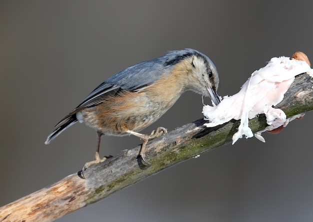 La sittelle eurasienne est assise sur une branche et mange un saindoux.