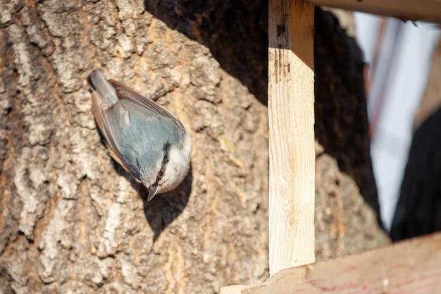 Sittelle à frêne près de mangeoire pour oiseaux à la recherche d'appareil photo