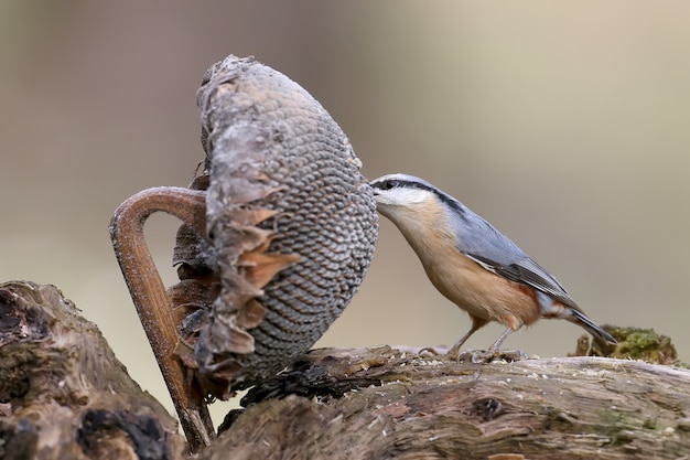 La sittelle tire les graines de la tête d'un tournesol.