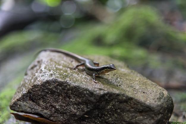 Skarin variabled, speckled sun skink sur le rocher dans la forêt tropicale humide.