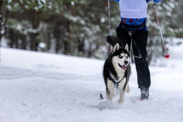 Skijoring avec chien de traîneau