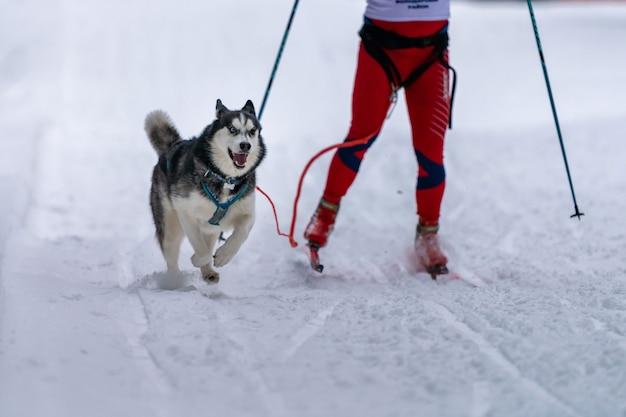 Skijoring de chiens de traîneau. conducteur de chien de traîneau à chiens husky. compétition de championnat de sport.