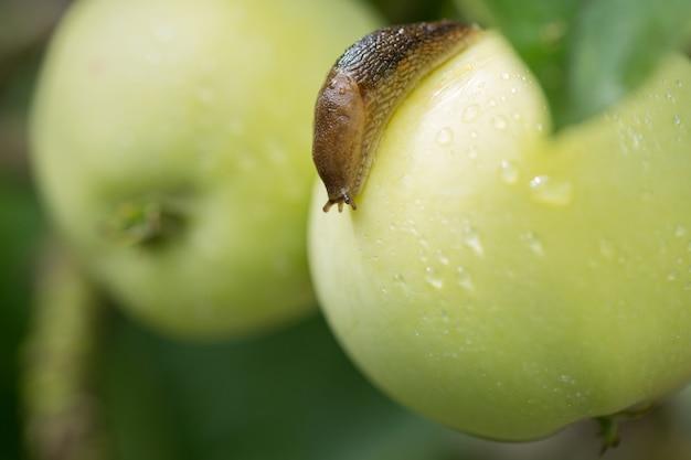 Slug rampe à travers une pomme verte mouillée
