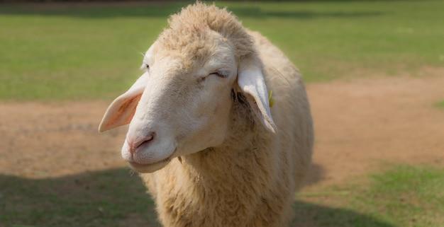Smiley moutons font des grimaces debout au milieu des prairies vertes pendant la journée