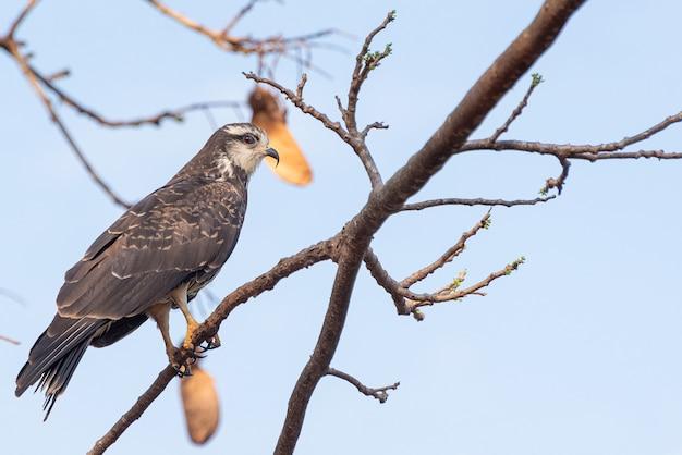 Snail hawk assis sur une branche. mise au point sélective.