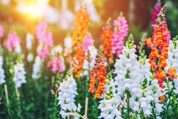 Snap dragon (antirrhinum majus) en fleurs dans le jardin