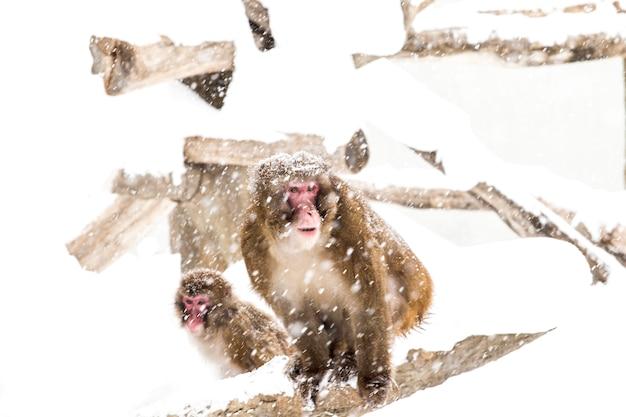 Snow monkeys japonais sur la neige d'hiver