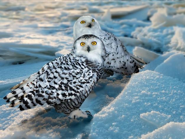 Snowy owl dans la zone de glace