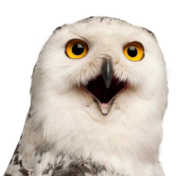 Snowy owl femelle, bubo scandiacus, 1 an, portrait et gros plan contre l'espace blanc