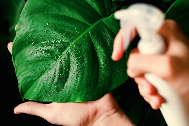 Soin des plantes d'intérieur, dépoussiérage des feuilles, pulvérisation et fertilisation.