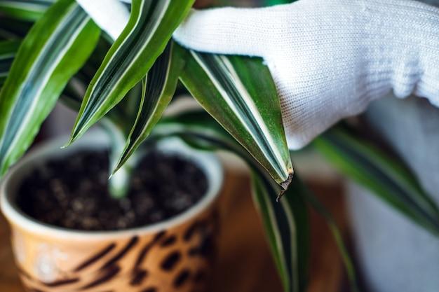 Soins des plantes d'intérieur de printemps réveillant les plantes d'intérieur pour les mains des femmes de printemps pulvériser et laver les feuilles