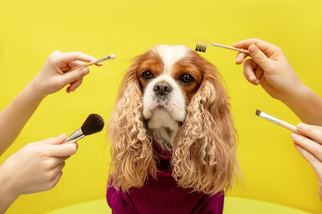 Soins pour chien à quatre mains dans un salon de toilettage de beauté spa sur fond jaune.