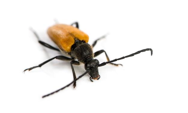 Soldat beetle devant une surface blanche