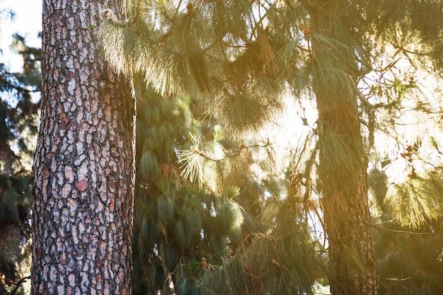 Soleil dans la forêt de conifères
