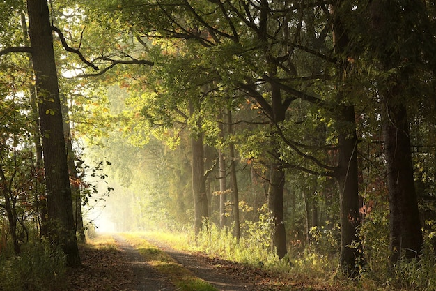 Le soleil levant illumine les feuilles de chêne sur les arbres de la forêt d'automne