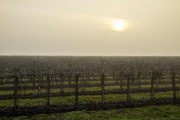 Le soleil malade peine à pénétrer le ciel gris-blanc du froid matin d'hiver qui enveloppe le vignoble endormi