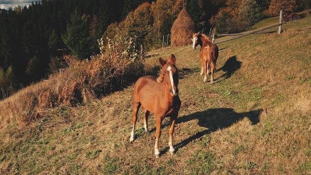 Soleil montagne colline aérienne gros plan chevaux à la recherche d'un animal de ferme d'appareil photo rural nature paysage d'automne
