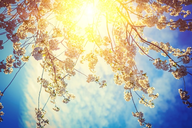 Soleil translucide à travers des branches de cerisier avec des fleurs épanouies mur floral stile inatagram