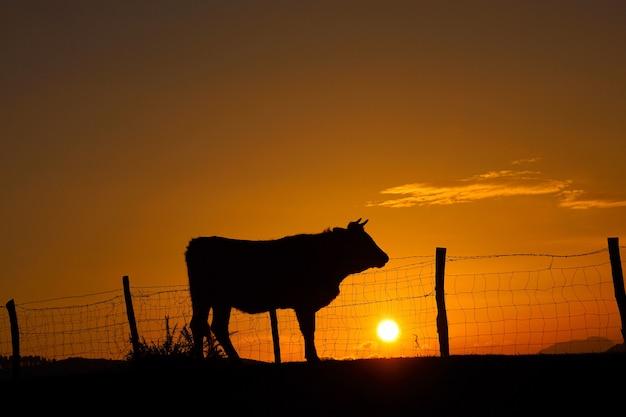 Soleil et vache