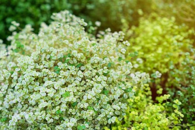 Soleyroliya - une belle plante vivace herbacée à petites feuilles sur de longues pousses.