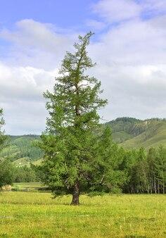 Un sommet incurvé d'un arbre dans une vallée de montagne sous un ciel bleu nuageux sibérie russie