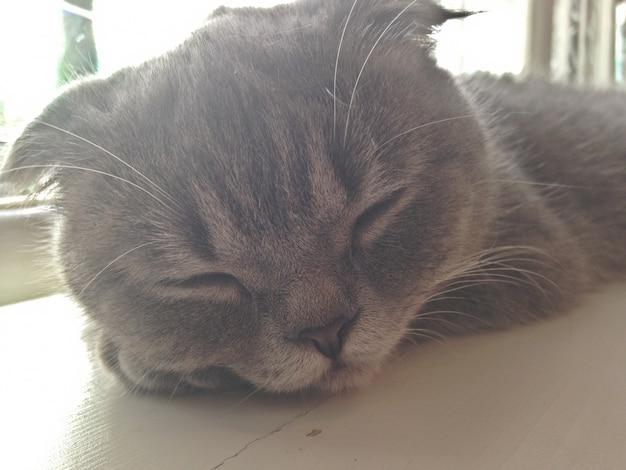 Somnolent chat gris sur une table