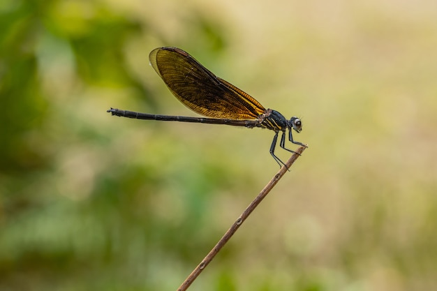 Sorte de libellule