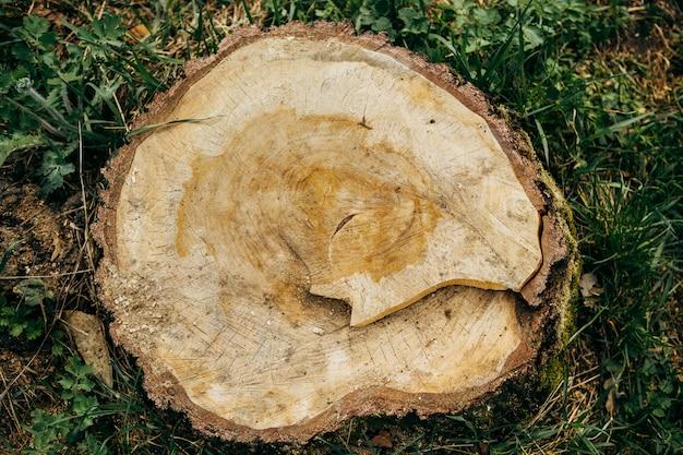 Une souche d'arbre récemment sciée dépasse du sol.