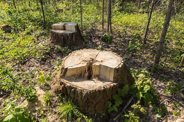 Souche de bouleau dans la forêt