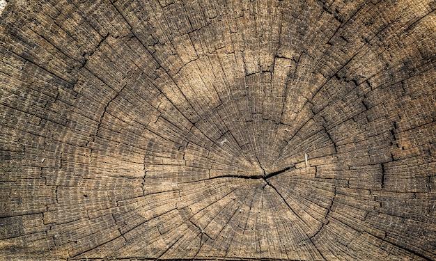 Souche de chêne coupée - section du tronc avec des cernes annuels.