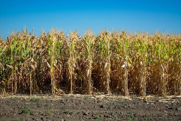 Souche de maïs pleine de grain dans le champ.