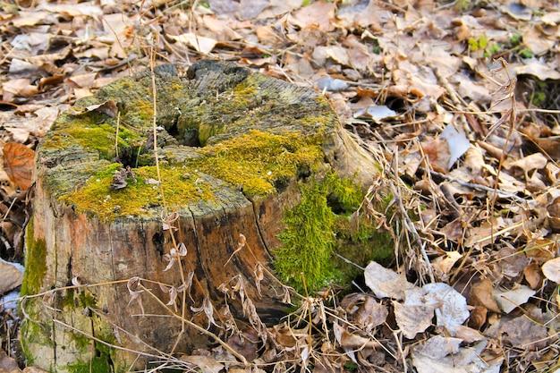 Souche avec de la mousse dans la forêt