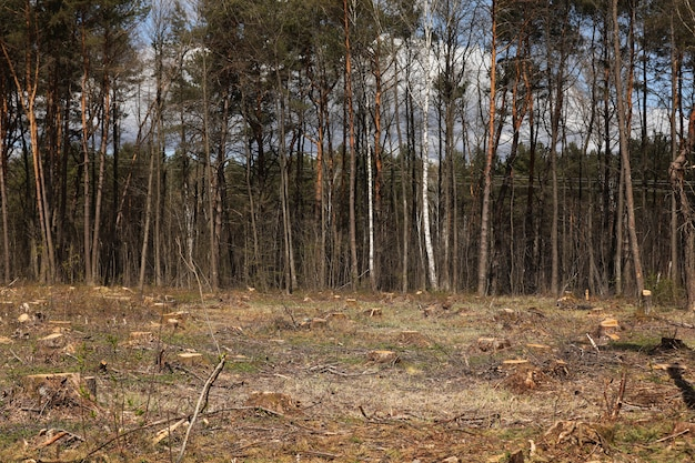 Des souches de bois de pin coupées fraîchement illégales dans la forêt de pins, image conceptuelle de la déforestation. souches d'arbres. mise au point sélective.