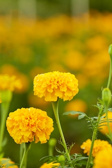 Souci jaune (tagetes erecta linn.)