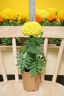 Soucis de couleur jaune (tagetes erecta, souci mexicain, souci aztèque, souci africain), plante en pot de souci