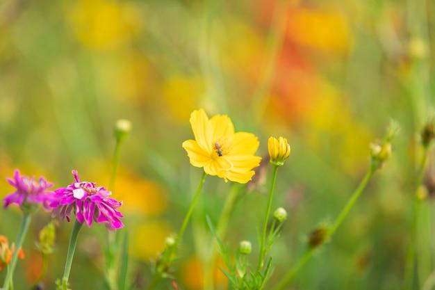Le soufre jaune cosmos fleurit dans le jardin de la nature.