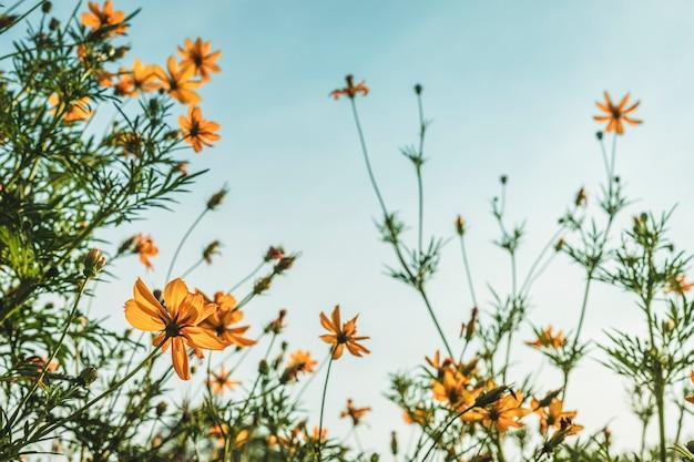 Soufre jaune cosmos en fleurs dans le jardin de la nature avec un ciel bleu avec un style vintage.