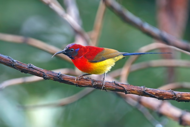 Souimanga de mme gould aethopyga oiseaux de thaïlande