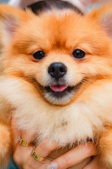 Sourire de chien de poméranie si mignon, beau chien de poméranie.
