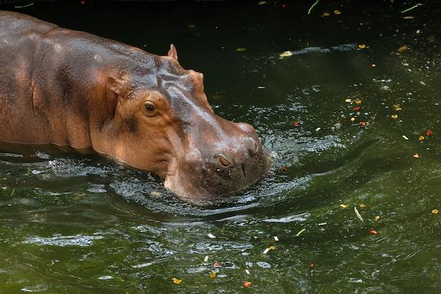 Le sourire d'hippopotame dans la rivière